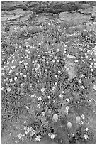 Wildflowers. Glacier National Park ( black and white)