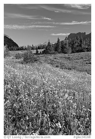 Wildflower meadow, Logan Pass, early morning. Glacier National Park (black and white)