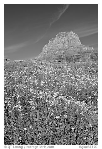 Carpet of alpine flowers and Clemens Mountain, Logan Pass. Glacier National Park (black and white)