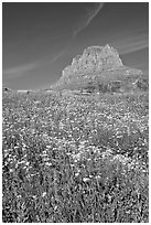Carpet of alpine flowers and Clemens Mountain, Logan Pass. Glacier National Park ( black and white)