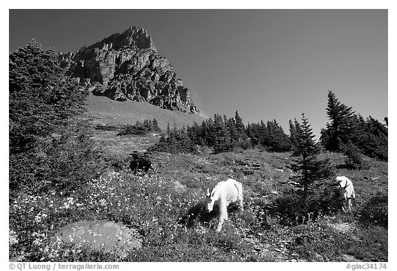 Mountain goats in wildflower meadow below Clemens Mountain, Logan Pass. Glacier National Park (black and white)