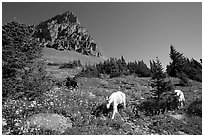 Mountain goats in wildflower meadow below Clemens Mountain, Logan Pass. Glacier National Park ( black and white)