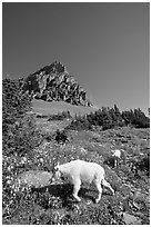 Mountain goat and cub in a meadown below Clemens Mountain, Logan Pass. Glacier National Park ( black and white)