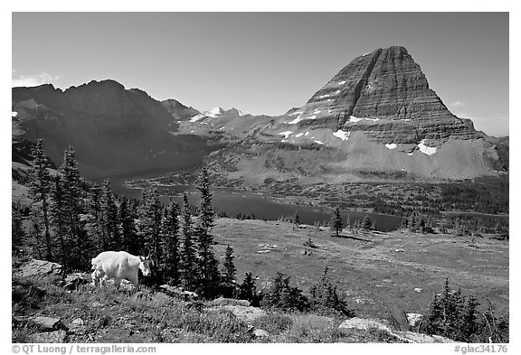 Hidden Lake, Bearhat Mountain, and mountain goat. Glacier National Park, Montana, USA.