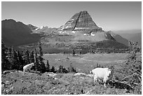 Mountain goats, Hidden Lake, Bearhat Mountain. Glacier National Park ( black and white)