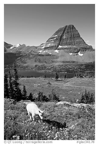 Young mountain goat, with Hidden Lake and Bearhat Mountain in the background. Glacier National Park (black and white)
