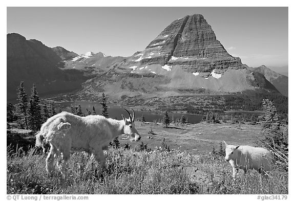 Mountain goat and kid, Hidden Lake and Bearhat Mountain in the background. Glacier National Park (black and white)