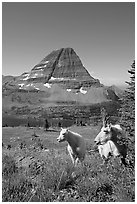 Mountain goats, Hidden Lake and Bearhat Mountain behind. Glacier National Park ( black and white)