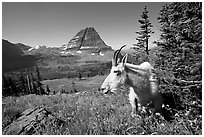 Mountain goat, Hidden Lake and Bearhat Mountain behind. Glacier National Park, Montana, USA. (black and white)