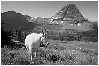 Mountain goat, Hidden Lake and Bearhat Mountain. Glacier National Park, Montana, USA. (black and white)