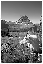 Mountain goat seen at close range near Hidden Lake overlook. Glacier National Park ( black and white)