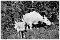 Mountain goat and kid. Glacier National Park ( black and white)