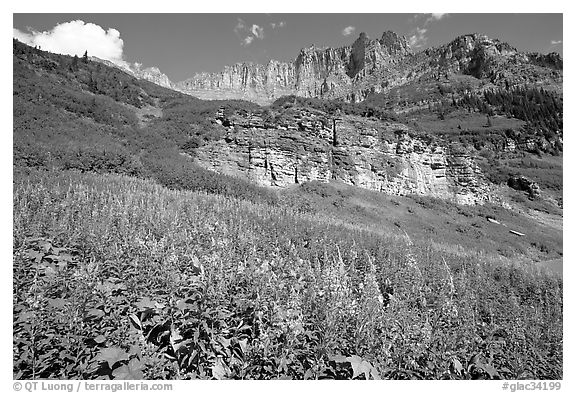Fireweed below the Garden Wall. Glacier National Park (black and white)