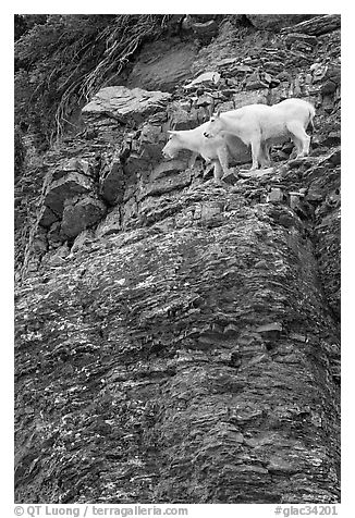 Mountain goats high on a ledge. Glacier National Park (black and white)