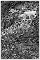 Mountain goats high on a ledge. Glacier National Park ( black and white)