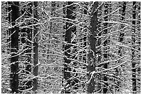 Snowy trees in winter. Glacier National Park, Montana, USA. (black and white)