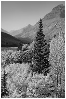 Autumn color, Rising Wolf Mountain. Glacier National Park ( black and white)