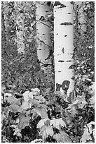 Shurbs and trunks in autumn. Glacier National Park ( black and white)