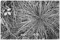 Close-up of forest floor with grasses and shrubs in autumn. Glacier National Park ( black and white)