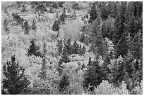 Deciduous trees and conifers in autumn. Glacier National Park ( black and white)