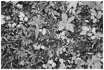 Close-up of forest floor with colorful shurbs in autumn. Glacier National Park ( black and white)