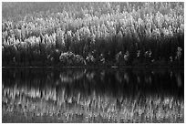 Conifer forest with autumn color accents and reflection, Bowman Lake. Glacier National Park ( black and white)