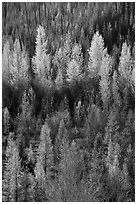 Aspen in various stage of fall foliage, North Fork. Glacier National Park ( black and white)