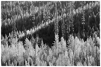 Aspen in autumn foliage and forested hillside, North Fork. Glacier National Park ( black and white)