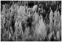 Leaves of aspen in autum foliage glow in backlight, North Fork. Glacier National Park ( black and white)