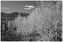 Aspen forest and mountains. Glacier National Park ( black and white)