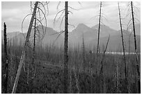Recovering burned forest from 2007 wildfire. Glacier National Park ( black and white)