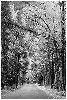 Road below canopy of tall trees in autumn, Apgar. Glacier National Park ( black and white)