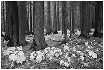 Old-growth forest with large leaves on floor in autumn. Glacier National Park ( black and white)