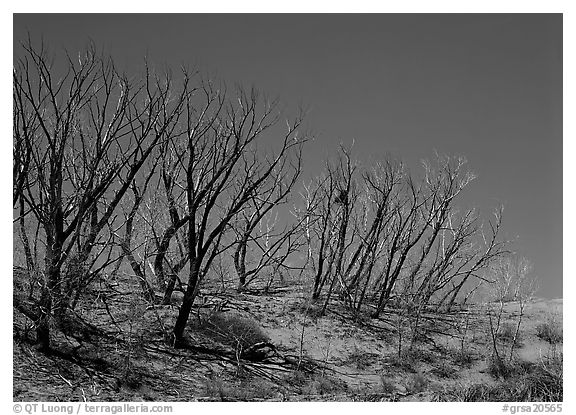 Dead trees on sand dunes. Great Sand Dunes National Park (black and white)