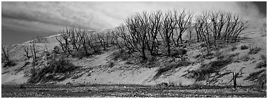 Dune edge with dead trees. Great Sand Dunes National Park and Preserve (Panoramic black and white)