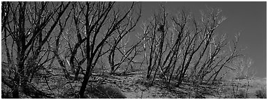 Tree skeletons on dunes. Great Sand Dunes National Park and Preserve (Panoramic black and white)