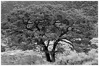 Pinyon pine tree. Great Sand Dunes National Park, Colorado, USA. (black and white)
