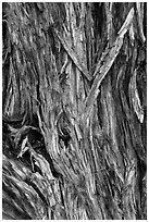 Bark detail of Pinyon pine trunk. Great Sand Dunes National Park, Colorado, USA. (black and white)