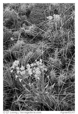 Yellow flowers and cactus. Great Sand Dunes National Park and Preserve (black and white)