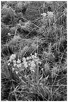 Yellow flowers and cactus. Great Sand Dunes National Park, Colorado, USA. (black and white)