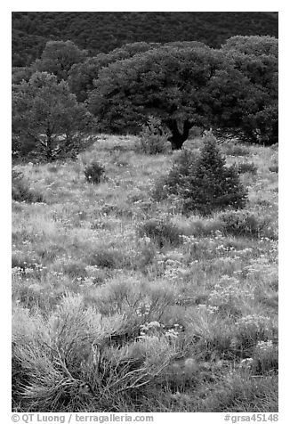Slope with yellow flowers and pinyon pines. Great Sand Dunes National Park and Preserve (black and white)