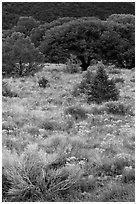 Slope with yellow flowers and pinyon pines. Great Sand Dunes National Park and Preserve ( black and white)