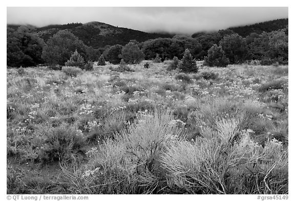 Sagebrush in bloom and pinyon pine forest. Great Sand Dunes National Park and Preserve (black and white)