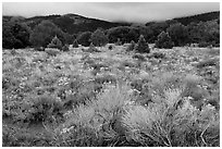 Sagebrush in bloom and pinyon pine forest. Great Sand Dunes National Park, Colorado, USA. (black and white)