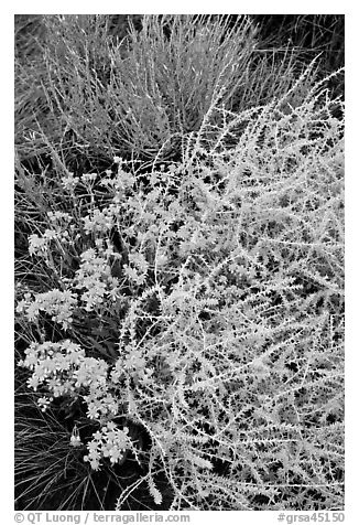 Closeup of shrubs. Great Sand Dunes National Park and Preserve (black and white)