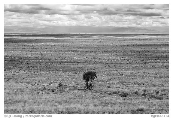 Lonely tree on plain. Great Sand Dunes National Park and Preserve (black and white)