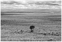 Lonely tree on plain. Great Sand Dunes National Park, Colorado, USA. (black and white)