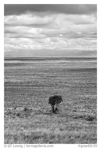 Lone tree and flatland. Great Sand Dunes National Park and Preserve (black and white)