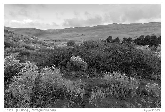 Shrubs in autumn and dunes. Great Sand Dunes National Park and Preserve (black and white)