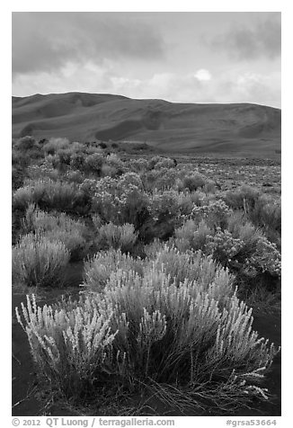 Shrubs and dunes. Great Sand Dunes National Park and Preserve (black and white)